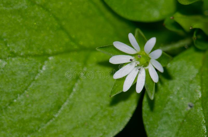 Plant with white flower. Guia. Gran Canaria. Canary Islands. Spain stock photography