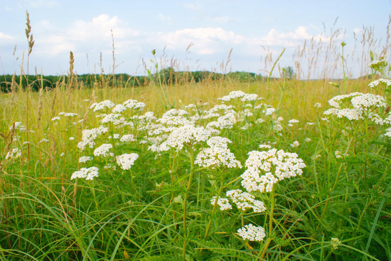 Landscape of plant yarrow with white flowers in meadow stock image overgrown plants yarrow with multiple white flowers and green leaves and tall yellow grass on meadow under blue sky with clouds summer landscape mightylinksfo