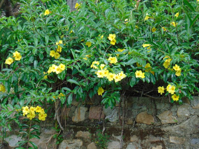 Plant yellow flowers on stone walls stock image