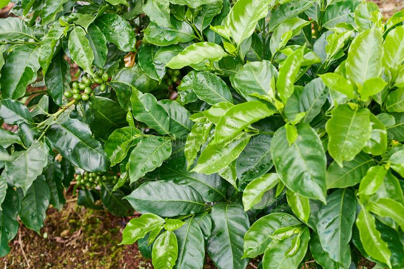 Plant of young coffee. With healthy berries on green leafs background royalty free stock photography