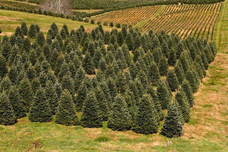 Plantação da árvore de Natal imagens de stock royalty free