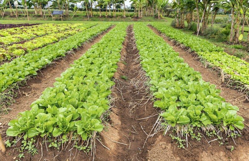 Plantação da alface da salada foto de stock royalty free