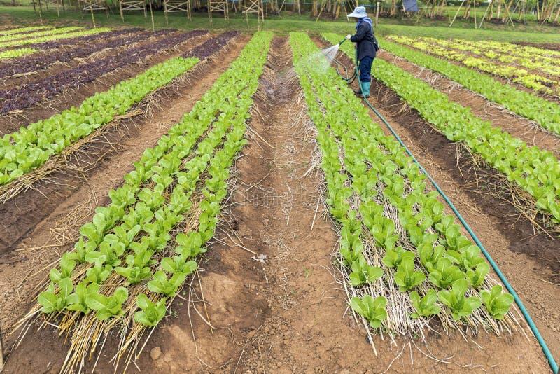 Plantação da alface da salada foto de stock