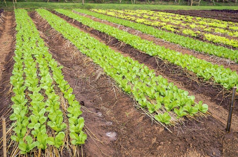 Plantação da alface da salada fotos de stock royalty free