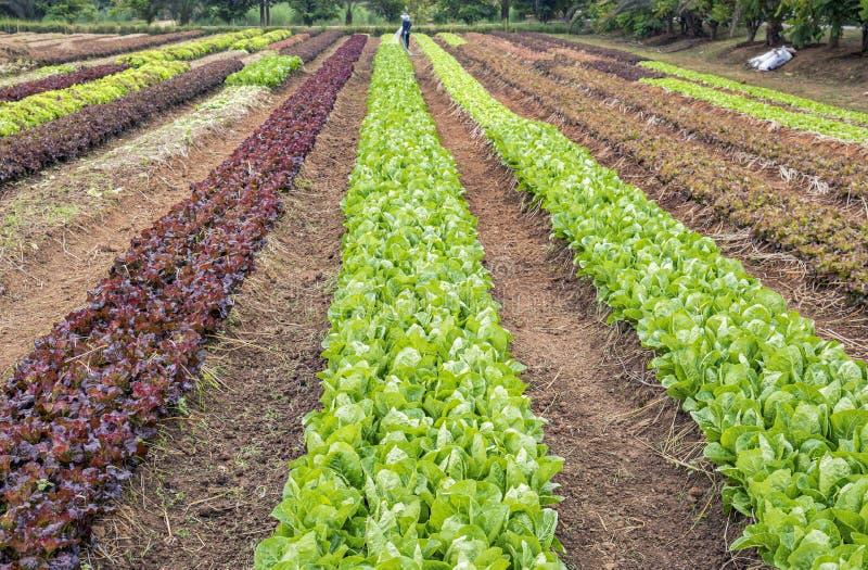Plantação da alface da salada imagem de stock