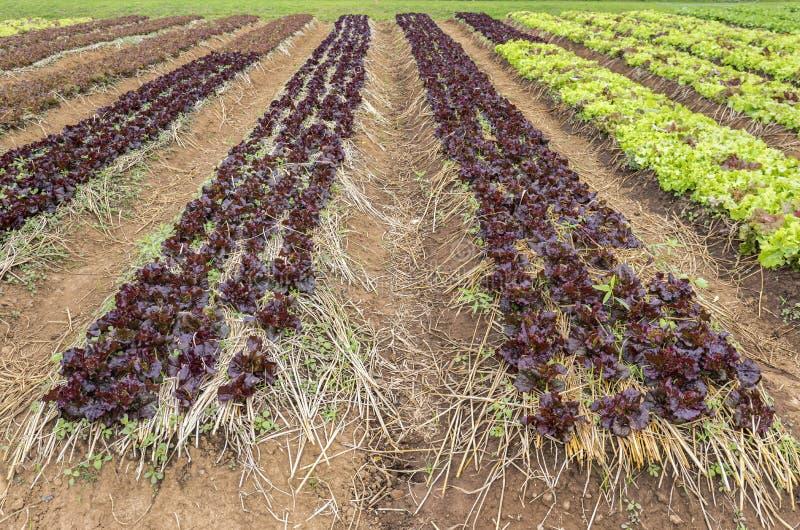Plantação da alface da salada fotos de stock
