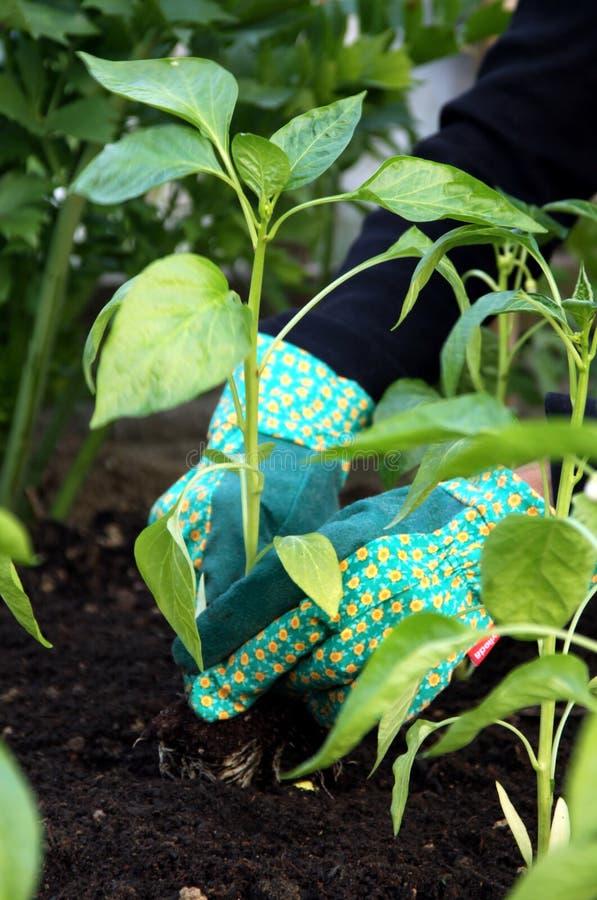 Plantação da planta nova da pimenta fotografia de stock royalty free