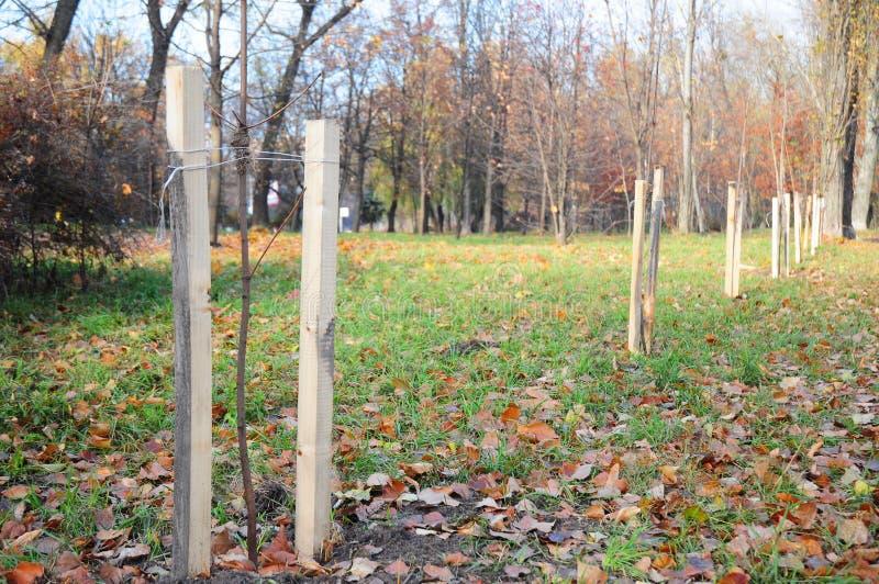 Plantação da queda das árvores e dos arbustos Plantação árvores corretamente com as duas estacas no outono imagem de stock royalty free