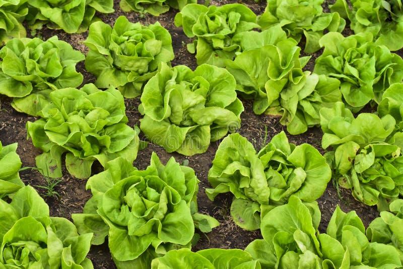 Plantação da salada da alface de Butterhead, vegetal orgânico verde fotografia de stock