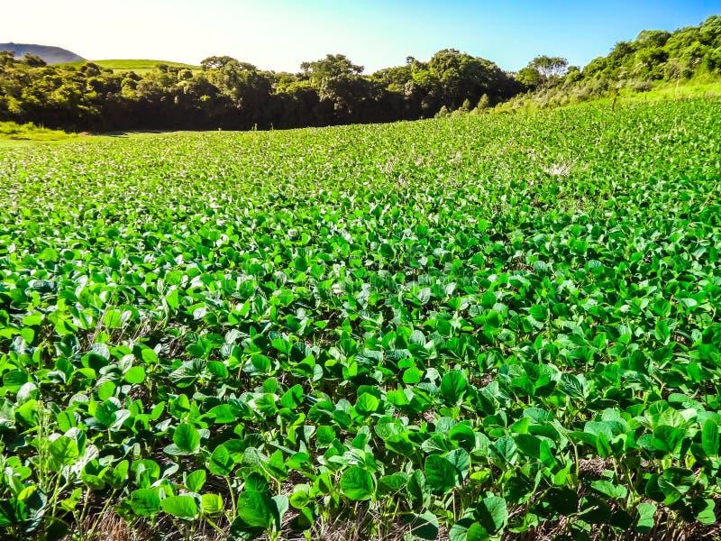 Plantação da soja em uma exploração agrícola no sul de Brasil imagens de stock royalty free