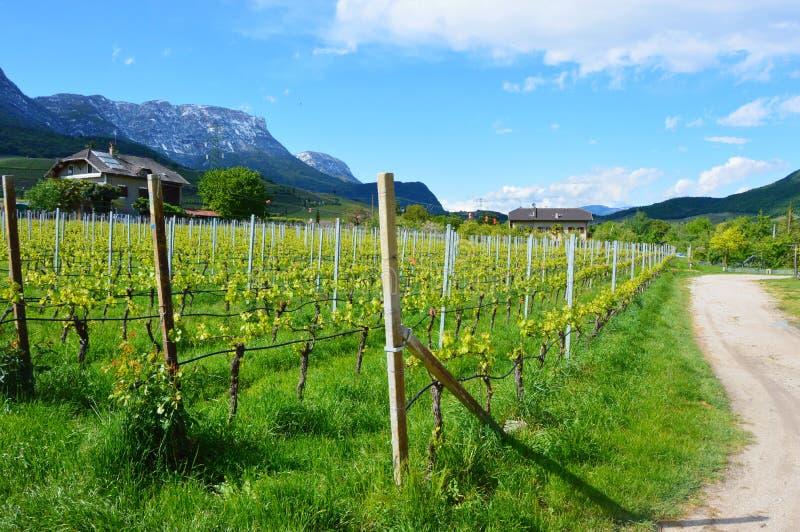 Plantação da uva perto do lago Caldaro em Bolzano/Bozen, Itália imagem de stock royalty free