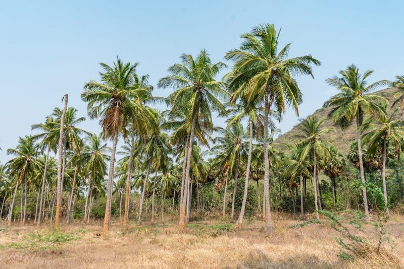 Plantação das árvores de coco em uma sequência na terra do jardim formal que olha impressionante com fundo da montanha imagem de stock