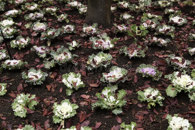 Plantação das couves-flor fotografia de stock