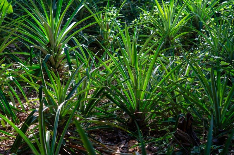 Plantação das especiarias - abacaxis Zanzibar, Tanzânia - em fevereiro de 2019 imagem de stock royalty free