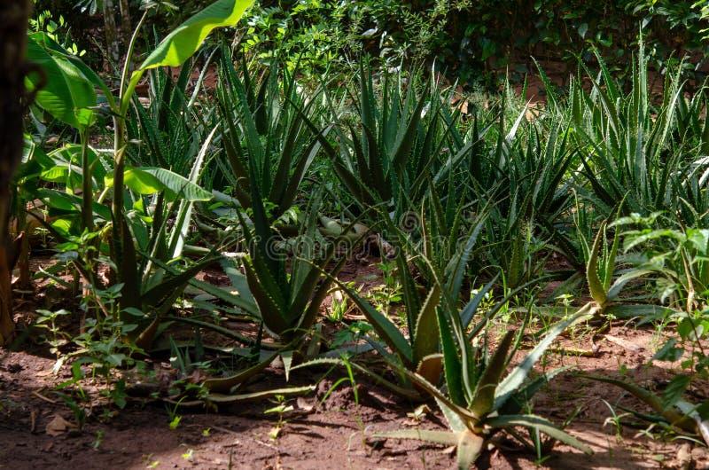 Plantação das especiarias - aloés vera Zanzibar, Tanzânia - em fevereiro de 2019 fotografia de stock