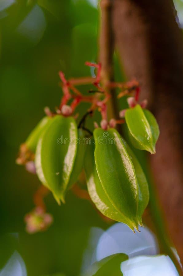 Plantação das especiarias - fruto novo Zanzibar do carambola ou de estrela, Tanzânia - em fevereiro de 2019 fotos de stock