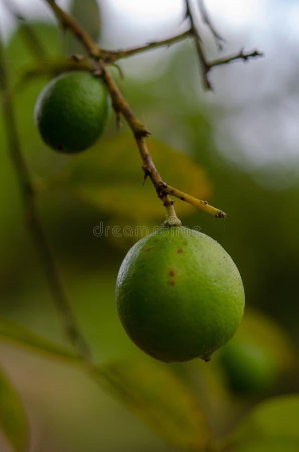 Plantação das especiarias - fruto Zanzibar do cal, Tanzânia - em fevereiro de 2019 fotografia de stock royalty free