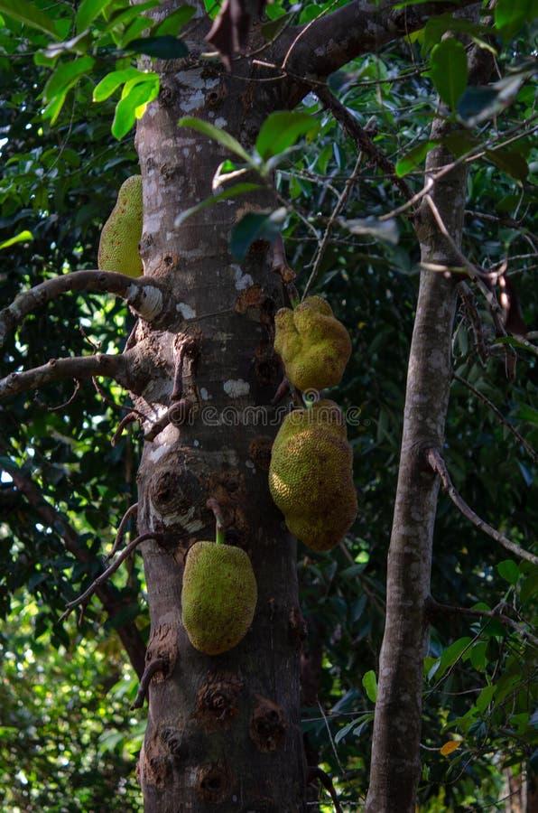 Plantação das especiarias - frutos do jaque de Zanzibar, Tanzânia - em fevereiro de 2019 fotografia de stock royalty free