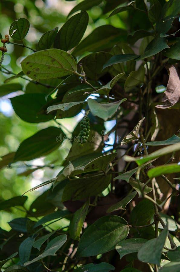 Plantação das especiarias - pimenta preta Zanzibar, Tanzânia - em fevereiro de 2019 foto de stock royalty free