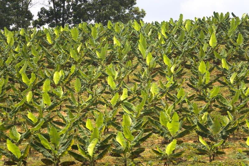 Plantação de banana   fotografia de stock royalty free