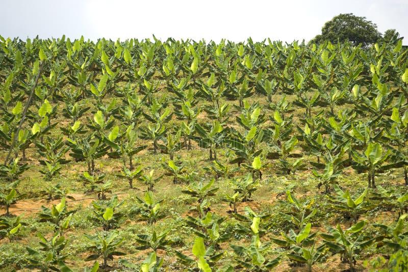 Plantação de banana foto de stock royalty free