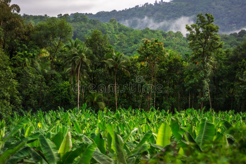 Plantação de banana comum da paisagem rural na Índia foto de stock royalty free