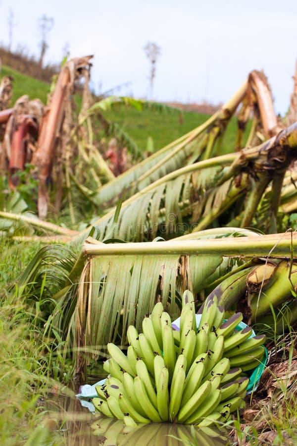 Plantação de banana destruída por um ciclone fotografia de stock royalty free