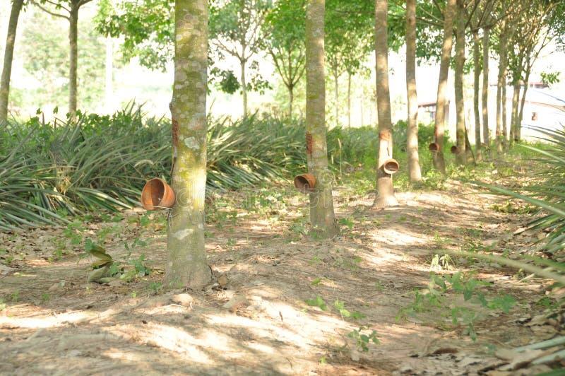 Plantação de borracha foto de stock royalty free