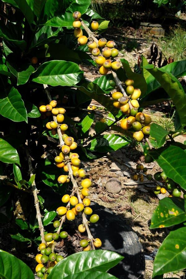 Plantação de café fotografia de stock royalty free