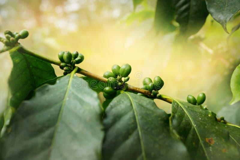 Plantação de café cubana fotografia de stock
