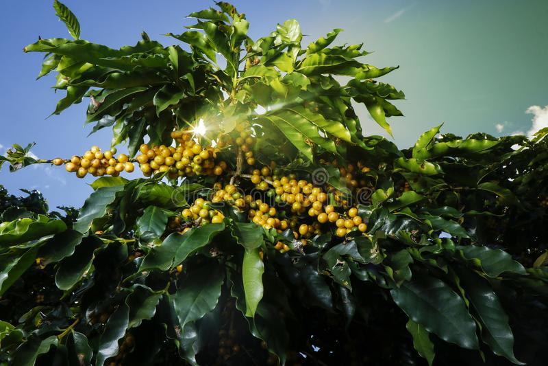 Plantação de café da exploração agrícola em Brasil foto de stock