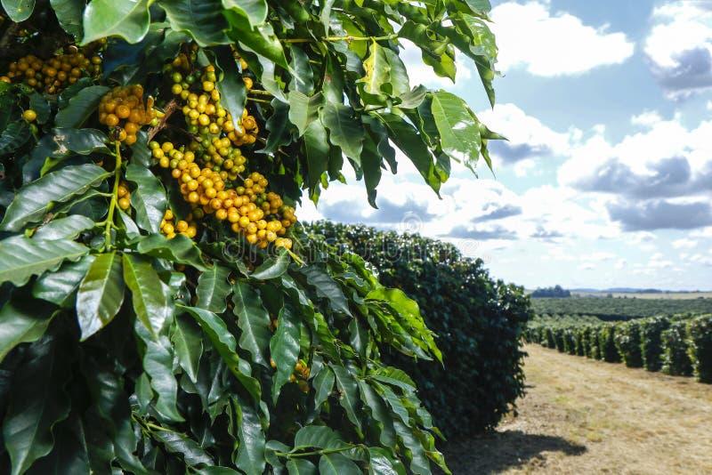 Plantação de café da exploração agrícola em Brasil fotos de stock royalty free