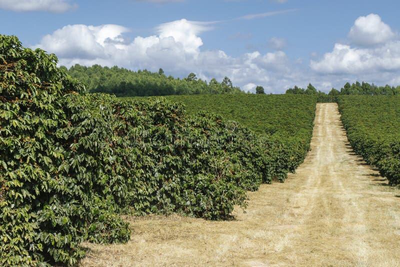 Plantação de café da exploração agrícola em Brasil fotografia de stock royalty free