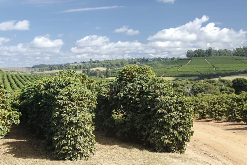 Plantação de café da exploração agrícola em Brasil foto de stock royalty free