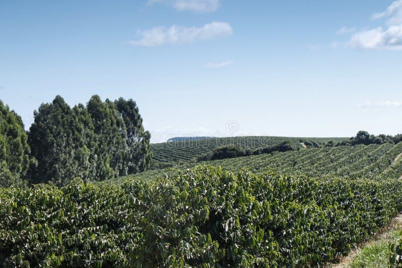 Plantação de café da exploração agrícola em Brasil fotografia de stock