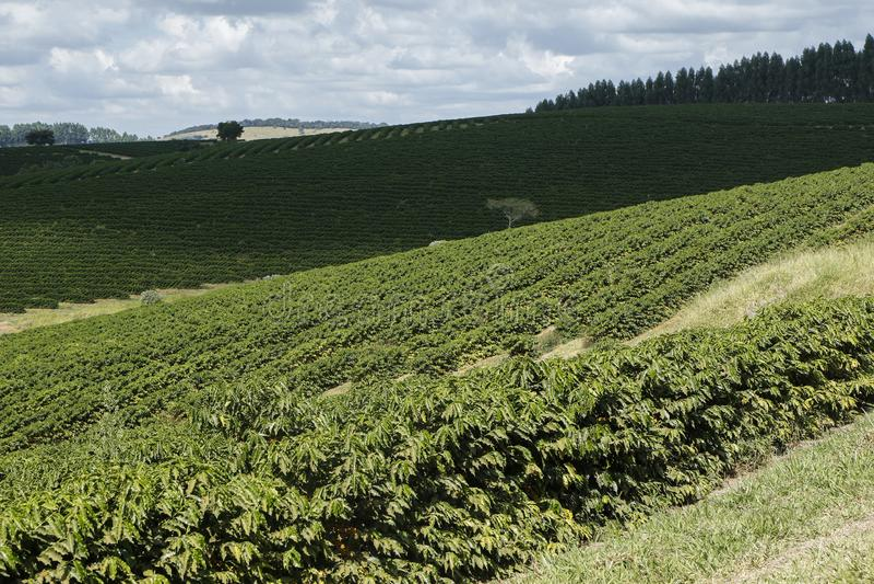 Plantação de café da exploração agrícola em Brasil fotos de stock