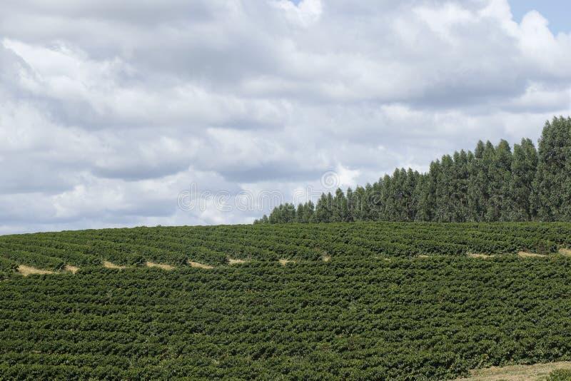 Plantação de café da exploração agrícola em Brasil imagens de stock