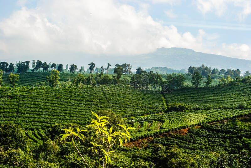 Plantação de café de Costa Rica fotografia de stock royalty free