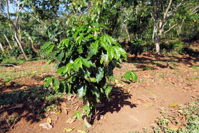 Plantação de café em Cuba imagens de stock