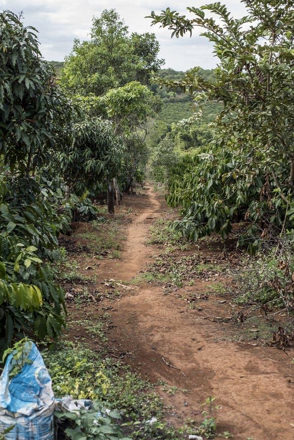 Plantação de café em Vietname fotografia de stock royalty free