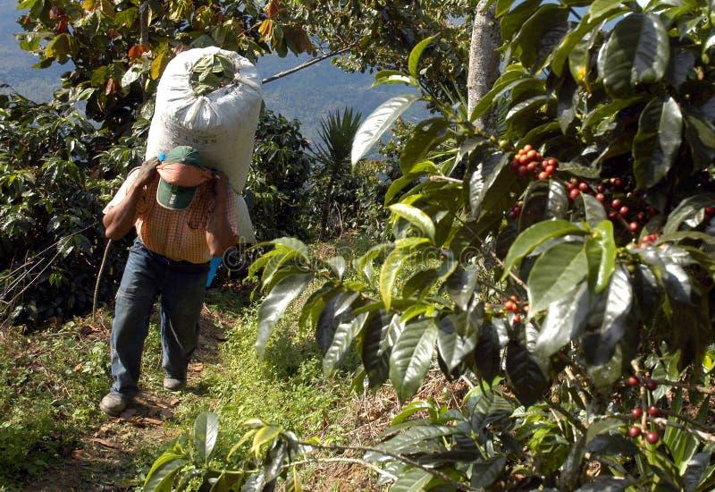 Plantação de café guatemala imagem de stock