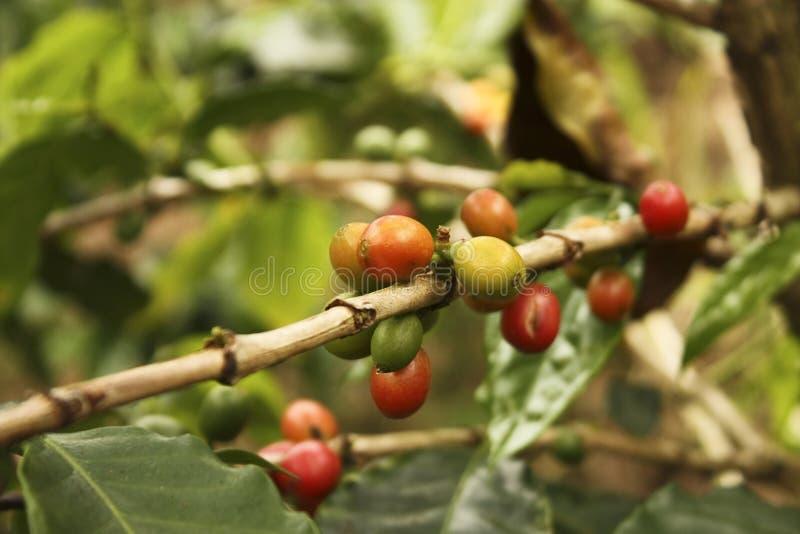 Plantação de café nos vales andinos fotografia de stock royalty free
