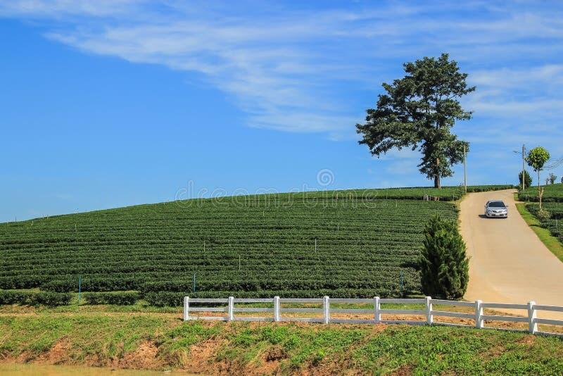 Plantação de chá, árvore solitária e condução de carro do monte fotos de stock