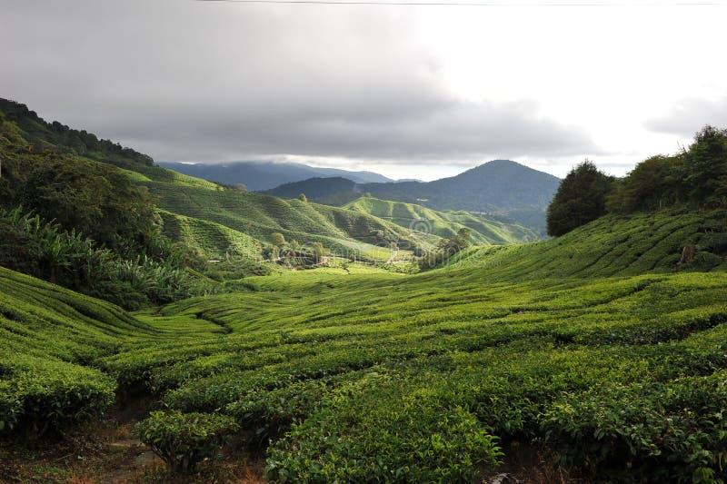 Download Plantação de chá imagem de stock. Imagem de cultivar - 16862741