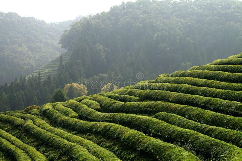 Plantação de chá asiática imagens de stock