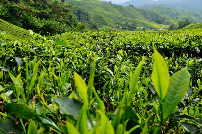 Plantação de chá, Cameron Highlands, Pahang fotografia de stock