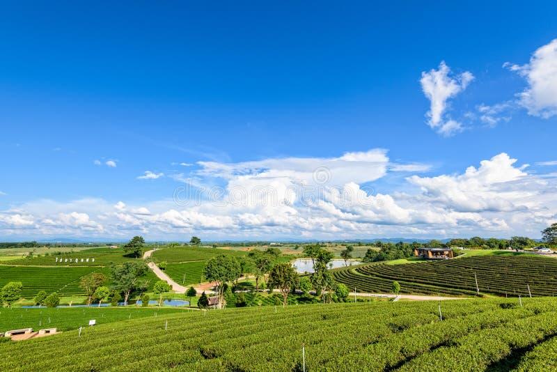 Plantação de chá de Choui Fong imagem de stock