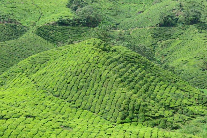 Plantação de chá de Boh, Sungai Palas foto de stock