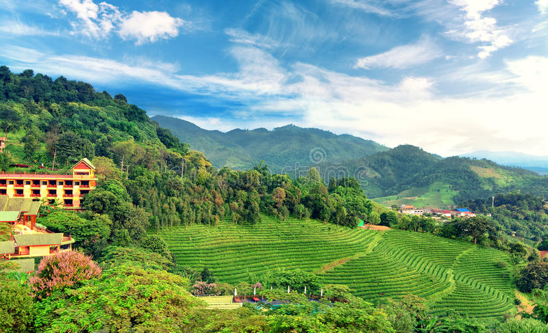 Plantação de chá em Doi Mae Salong em Chiang Rai, Tailândia fotografia de stock