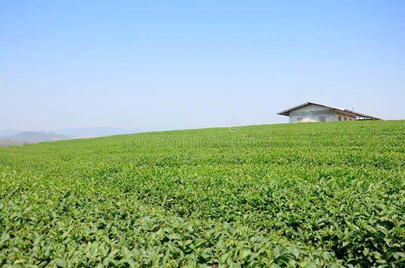 Plantação de chá em Doi Mae Salong (montanha) em Chiang Rai, Tailândia imagens de stock royalty free